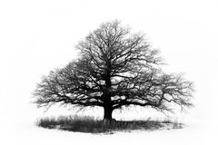 Big black tree. Large oak tree in a white winter field Royalty Free Stock Images