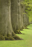 Large oak trees. Row of large oak trees Royalty Free Stock Photos