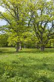 Large oak trees Royalty Free Stock Photo