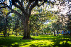 Large oak trees and spanish moss in Forsyth Park, Savannah, Geor Stock Photos