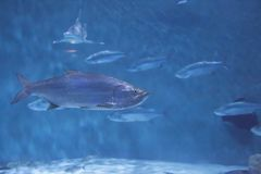 Large Ocean Fish. With smaller, silver fish swimming in the background stock image