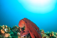 Large Octopus on a coral reef Royalty Free Stock Image