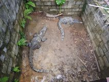 Large and old crocodiles in the process of training in the pavilion, Thailand stock photo