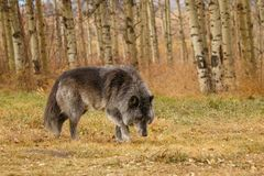 Large old grey wolf siffing around, Canada, unsocial wild animal, grumpy old guy, Yamnuska wolf sanctuary. Large old grey wolf siffing around in Canada, unsocial royalty free stock images