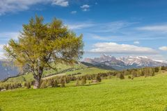Large, old larch on the Alpe di Siusi Royalty Free Stock Photos