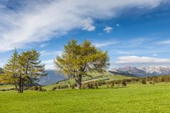 Large, old larch on the Alpe di Siusi Stock Images