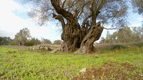 A large old lonely olive tree cropped at low altitude, in winter. Ancient Olive Trees, a collection of landscapes in an old olive garden in winter. The garden stock video footage