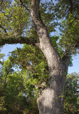 Large Old Oak Tree Royalty Free Stock Image
