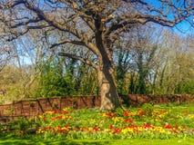 Large old oak tree sreading brances over a garden of tuplis Royalty Free Stock Photos