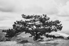 Large old pine, standing alone Stock Photos