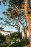 Large old pines Royalty Free Stock Photo