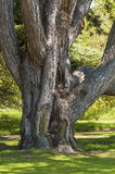 Large, Old Tree. A tall, old tree with a wide trunk stock photography