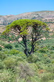 Large old tree on Crete Stock Images