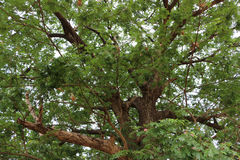 The large and old tree Stock Photography