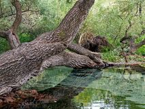 Gnarled Old Tree Growing Across Shallow River, Greece. A large old tree with gnarled and rough bark growing across a slow moving shallow river or stream, Greece stock photography