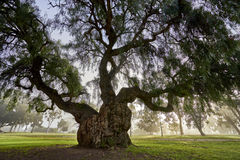Large old tree with a lot of character. One of my favorite trees in Balboa Park, San Diego, California; the sun is just now burning off the marine layer that royalty free stock image