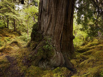 Large  Old Tree In The Rain Forest Royalty Free Stock Photos