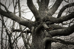 Large old tree in winter Royalty Free Stock Images