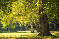 Large old trees in the park in the golden light of autumn Royalty Free Stock Image