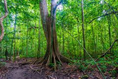 A large old tropical tree in a picturesque forest in Krabi, Thai Royalty Free Stock Photography