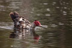 Large older male Muscovy duck Cairina moschata stock photos