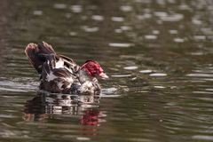 Large older male Muscovy duck Cairina moschata stock images