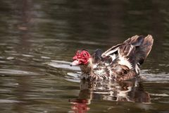 Large older male Muscovy duck Cairina moschata royalty free stock photo