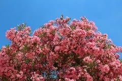 Large oleander Royalty Free Stock Images