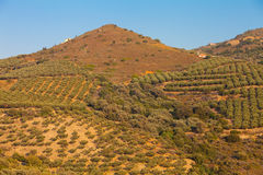 Large olive plantation Stock Images