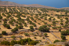 Large olive plantation Royalty Free Stock Photography