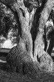 Large olive tree Royalty Free Stock Image