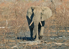 Large one. Large bull elephant in the far north of Kruger National Park, South Africa Royalty Free Stock Photography