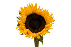 Large open sunflower isolated Royalty Free Stock Photography