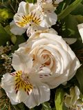 Large open White Rose in garden with Peruvian lily lillies stock images