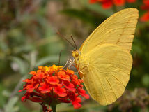 Large Orange-barred Sulphur Stock Images