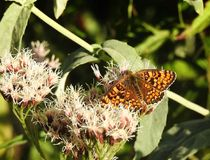 Butterfly and flowers. A large orange and black butterfly perches on the wild flowers of the field in autumn stock photography