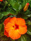 Large orange bloom. Explosion of color in this big blossom Stock Photos