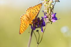 Large orange butterfly Argynnis paphia with black spots and strokes on the wings, bright and luminous sits on the stem natural gre royalty free stock photo
