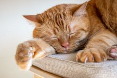 Large orange cat sleeping on a chair; large claws visible on on of the front paws stock photo