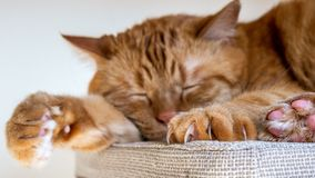 Large orange cat sleeping on a chair; Selective focus on large claws visible on one of the front paws royalty free stock photo