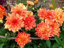 Large orange Dahlia flower heads in a garden. Stock Image