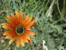 Large Orange Daisy Royalty Free Stock Photos