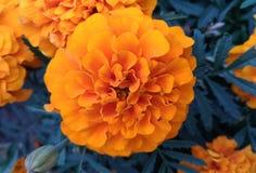 Large orange flower. Marigold on the flowerbed stock photos