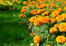 Large orange flowers of marigolds bloom in a flower bed on a hot summer day.  royalty free stock photography