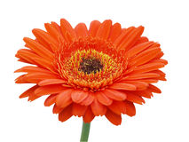 Large Orange Gerbera Daisy Stock Images