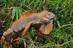 Large orange iguana resting in trees Stock Image