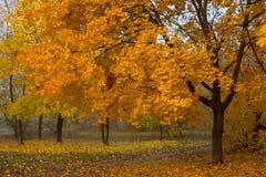 Large orange maple tree Stock Image