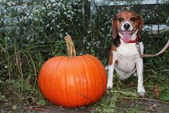 The dog`s pumpkin for Halloween. Large orange pumpkin with a beagle sitting next to it. Dog`s open mouth showing his fangs. Grasses and white wildflowers in the royalty free stock photography