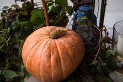 A large orange pumpkin lies among the leaves of the grapes. stock photos