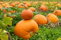 Small pumpkin atop larger pumpkin. Large orange pumpkins in field with a small pumpkin stacked on top of larger one Stock Photos